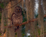 Barred Owl in the Moss at Sunrise.jpg