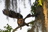 Barred Owl in Flight.jpg