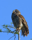 Barred Owl on Alligator Alley in the Treetop Looking Up.jpg