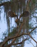 Barred Owl Taking Wing.jpg