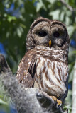 Barred Owl on a Branch at Sunset.jpg