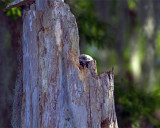 Barred Owl Chick Peeking Out.jpg