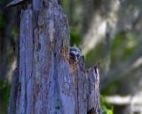 Barred Owl Hatchling.jpg