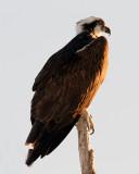 Osprey on the Top of a Dead Tree.jpg
