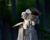 Barred Owl Fledgling Looking Left.jpg