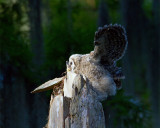 Barred Owl Fledgling on the Top of the Nest Tree Wings Spread Facing Left.jpg