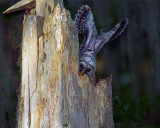 Barred Owl Fledgling Wings Up.jpg