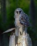 Barred Owl Fledgling.jpg