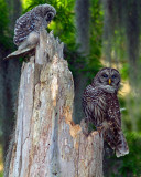 Barred Owl Mom and Chick on the Nest.jpg