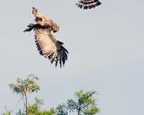 Barred Owl Doing a Flip.jpg