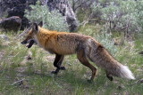Fox Across from Yellowstone Picnic Area.jpg