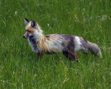 Lake Yellowstone Fox in the Tall Grass.jpg