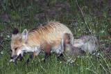 Lake Fox Eating a Vole.jpg