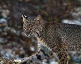 Bobcat Closeup.jpg