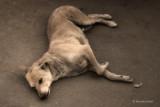 Resting Dog | Delhi, India