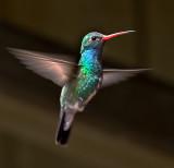Swifts, Hummingbirds, Kingfishers & Woodpeckers