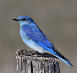 Kinglets, Gnatcatchers, Bluebirds & Thrushes