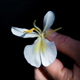Mariposa - National Flower of Cuba !