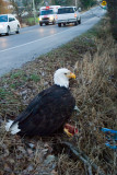 Bold eagle on the side of the road