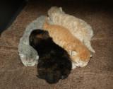 Sassique x Momo kittens born 5/18/11