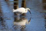 Snowy Egret (Egretta thula) (0640)