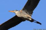 Great Blue Heron (Ardea herodias) (0675)