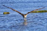 Osprey (Pandion haliaetus) (0782)