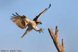 Osprey (Pandion haliaetus) (0828)