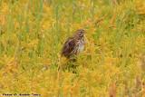 Savannah Sparrow (Passerculus sandwichensis) (8515)