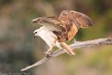 Osprey (Pandion haliaetus) (8708)