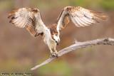 Osprey (Pandion haliaetus) (8724)