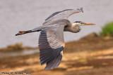 Great Blue Heron (Ardea herodias) (8754)