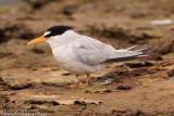 Least Tern (Sternula antillarum) (8809)
