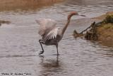 Reddish Egret (Egretta rufescens) (8916)