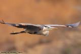 Great Blue Heron (Ardea herodias) (8928)