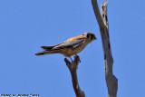 American Kestrel (Falco sparverius) (3852)