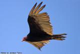Turkey Vulture (Cathartes aura) (3913)