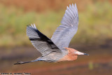 Reddish Egret (Egretta rufescens) (9550)