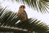 American Kestrel (Falco sparverius) (4690)