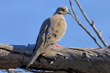 Mourning Dove (Zenaida macroura) (0617)