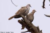 Ring-necked Dove (Streptopelia capicola) (4741)