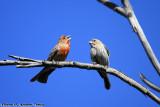 House Finch (Carpodacus mexicanus) (0635)