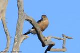 Sharp-shinned Hawk (Accipiter striatus) (0895)