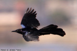 Great-Tailed Grackle (Quiscalus mexicanus) (5369)