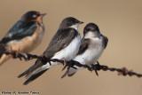 Bank Swallow (Riparia riparia) (5534)