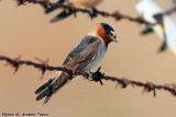 Cliff Swallow (Petrochelidon pyrrhonota) (5548)