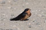 Barn Swallow (Hirundo rustica) (5470)