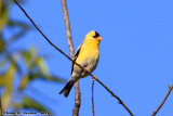 American Goldfinch (Carduelis tristis) (5450)