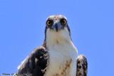 Osprey (Pandion haliaetus) (6138)