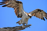 Osprey (Pandion haliaetus) (6173)